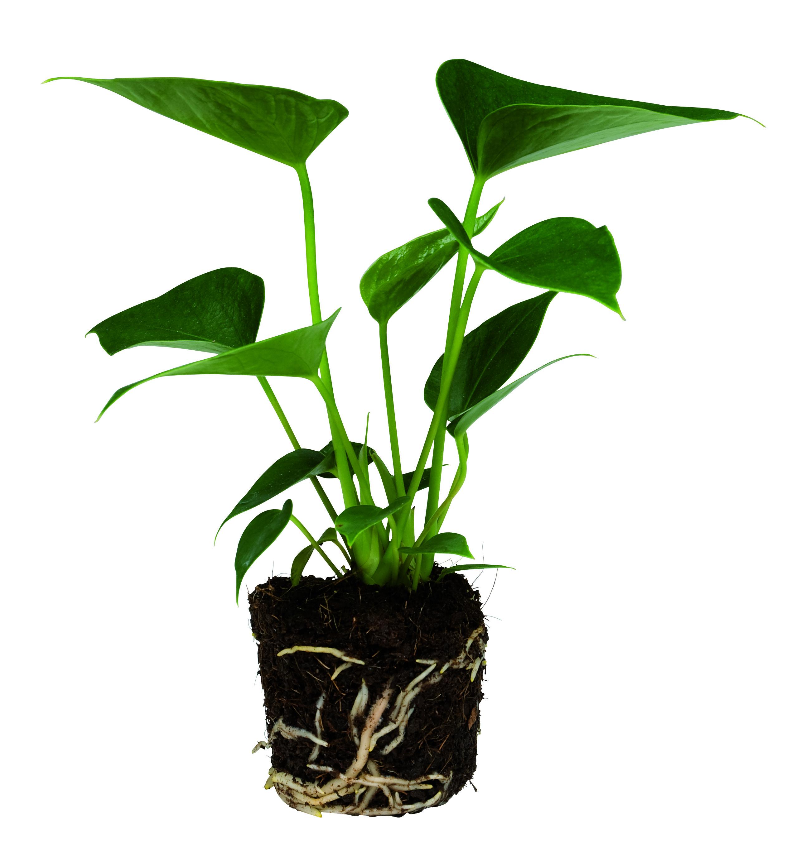 Anthurium pot, plug 10-18cm