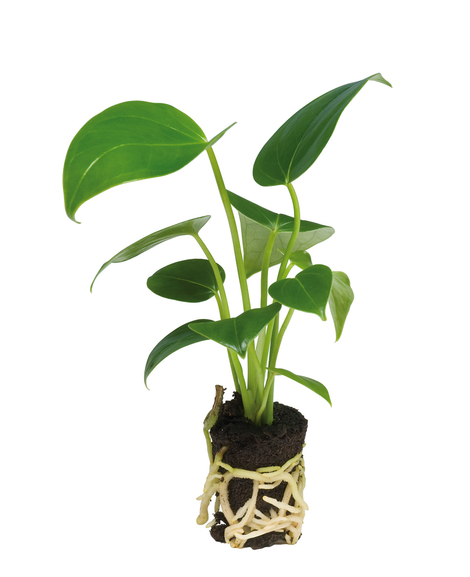 how to grow anthurium in pots