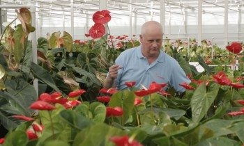 Harvesting of Anthurium cut flowers