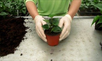 Transplanting Anthurium plants
