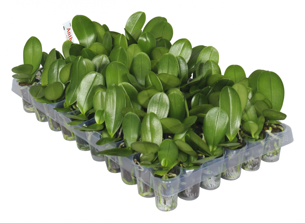 Phalaenopsis pluggen tray