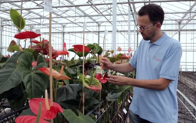 Breeding of Anthurium and Orchid