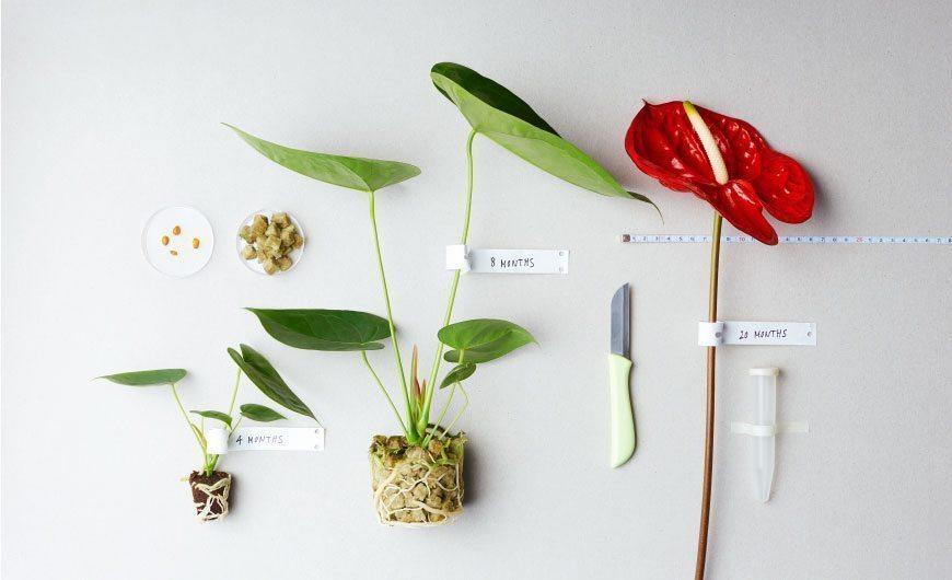 Sfeerbeeld veredeling Anthurium snijbloemen