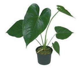 Anthurium cut flower pot 20-25cm