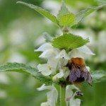 Neonicotinoïden en bijen