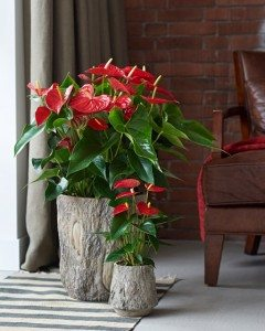 Anthurium Michigan®