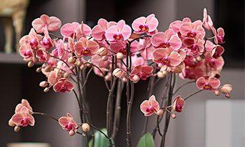 暖铜红色兰花: 纳博讷