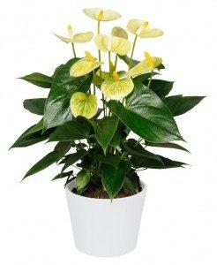 Anthurium Vanilla ©Anthura