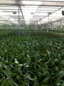 IMAC Phalaenopsis schermen