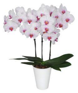 Orchid Anthura Denver