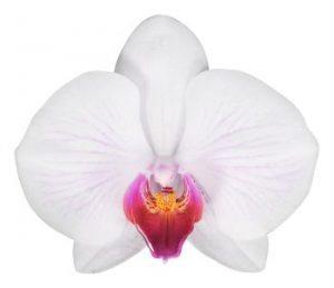 Orchid flower Anthura Denver