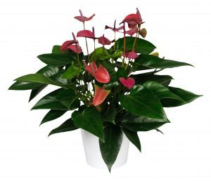 Anthurium Cirano® ©Anthura