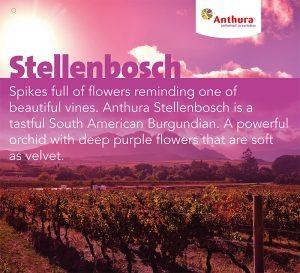 Anthura Stellenbosch