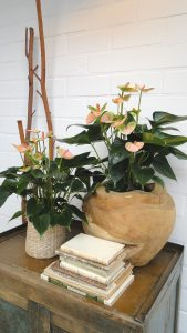 Leganza parelmoerkleurige potanthurium 12 en 14 cm