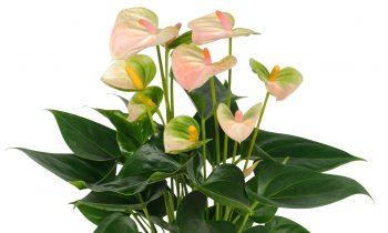 Leganza: popularna roślina doniczkowa w kolorze perłowym