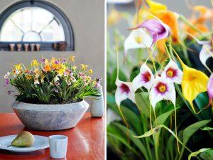 orchid-discoveries_masdevallia