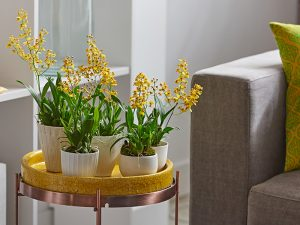 orchid-discoveries_oncidium