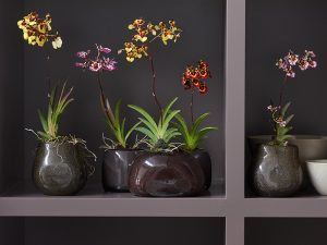 orchid-discoveries_tolumnia