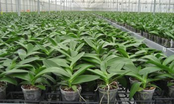 Growing manuals Phalaenopsis and Anthurium available