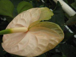 Ernstige bloemglazigheid