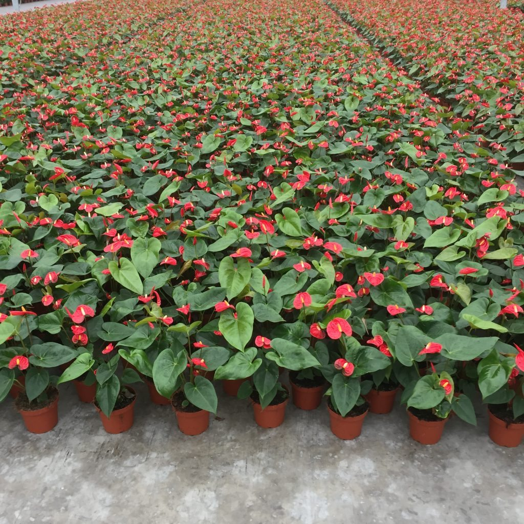 Humidity in the cultivation of Anthurium