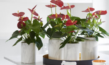 Rustica, een plant met een landelijk karakter