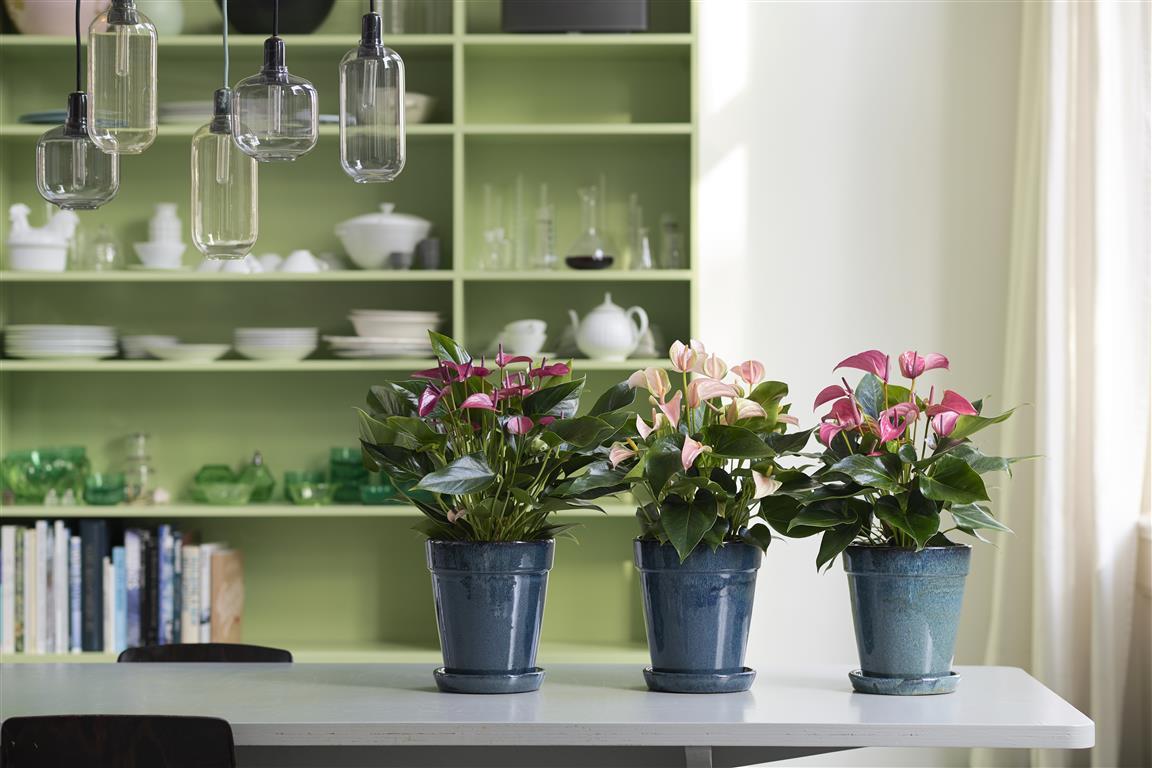 Een anthurium verzorgen: de beste tips op een rij