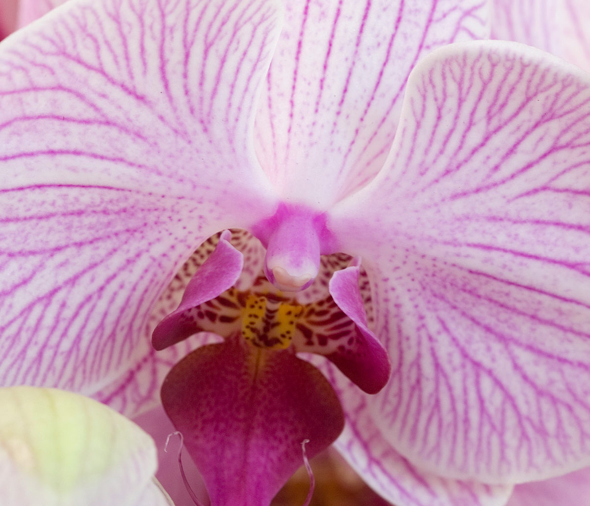 Meet the most popular houseplant: the Phalaenopsis