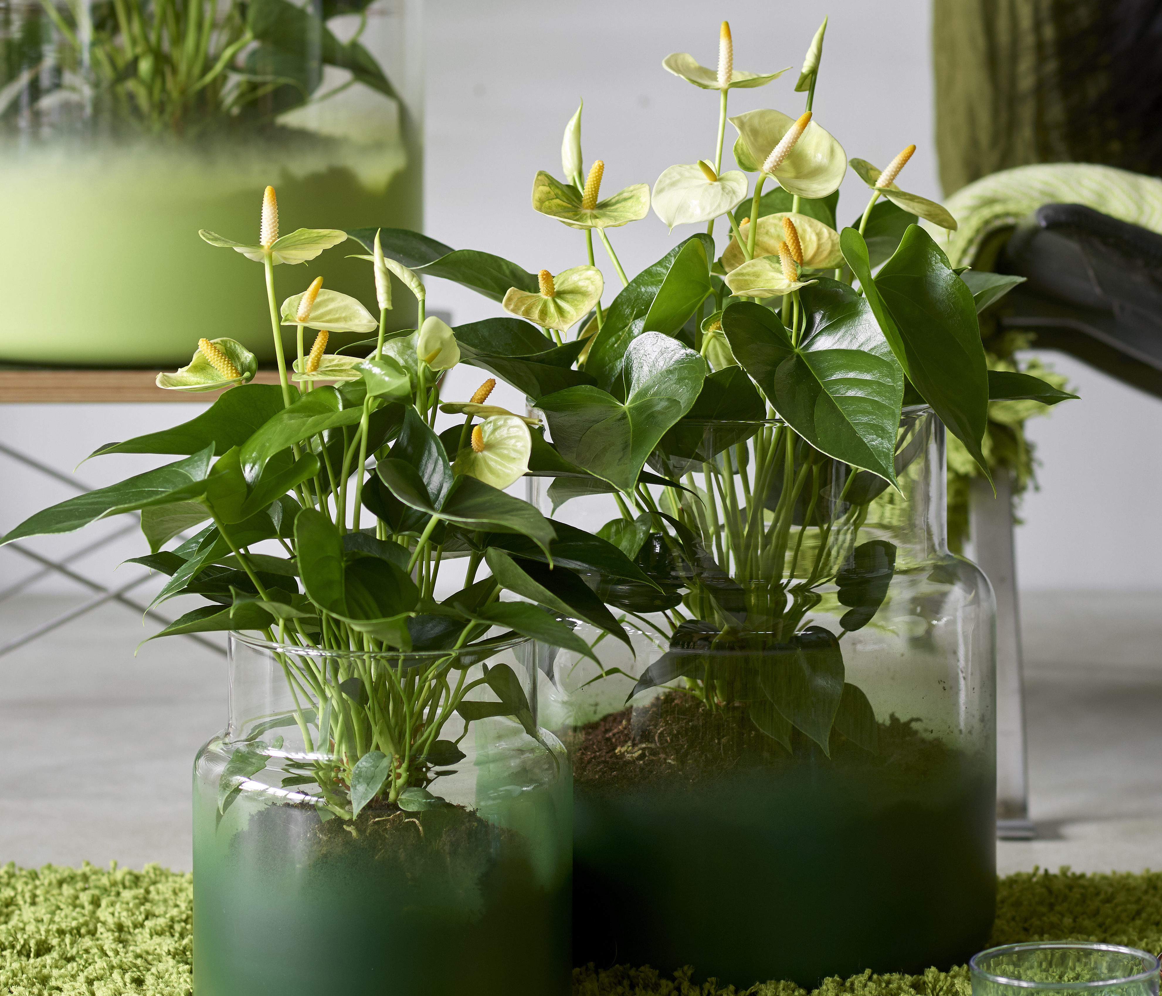 3 things you should not do with an anthurium plant