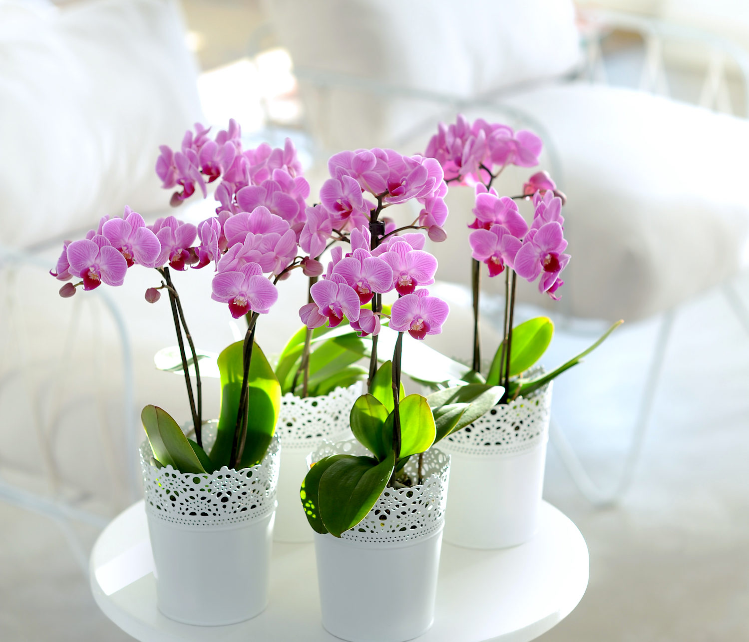 How to help your orchid rebloom in the spring