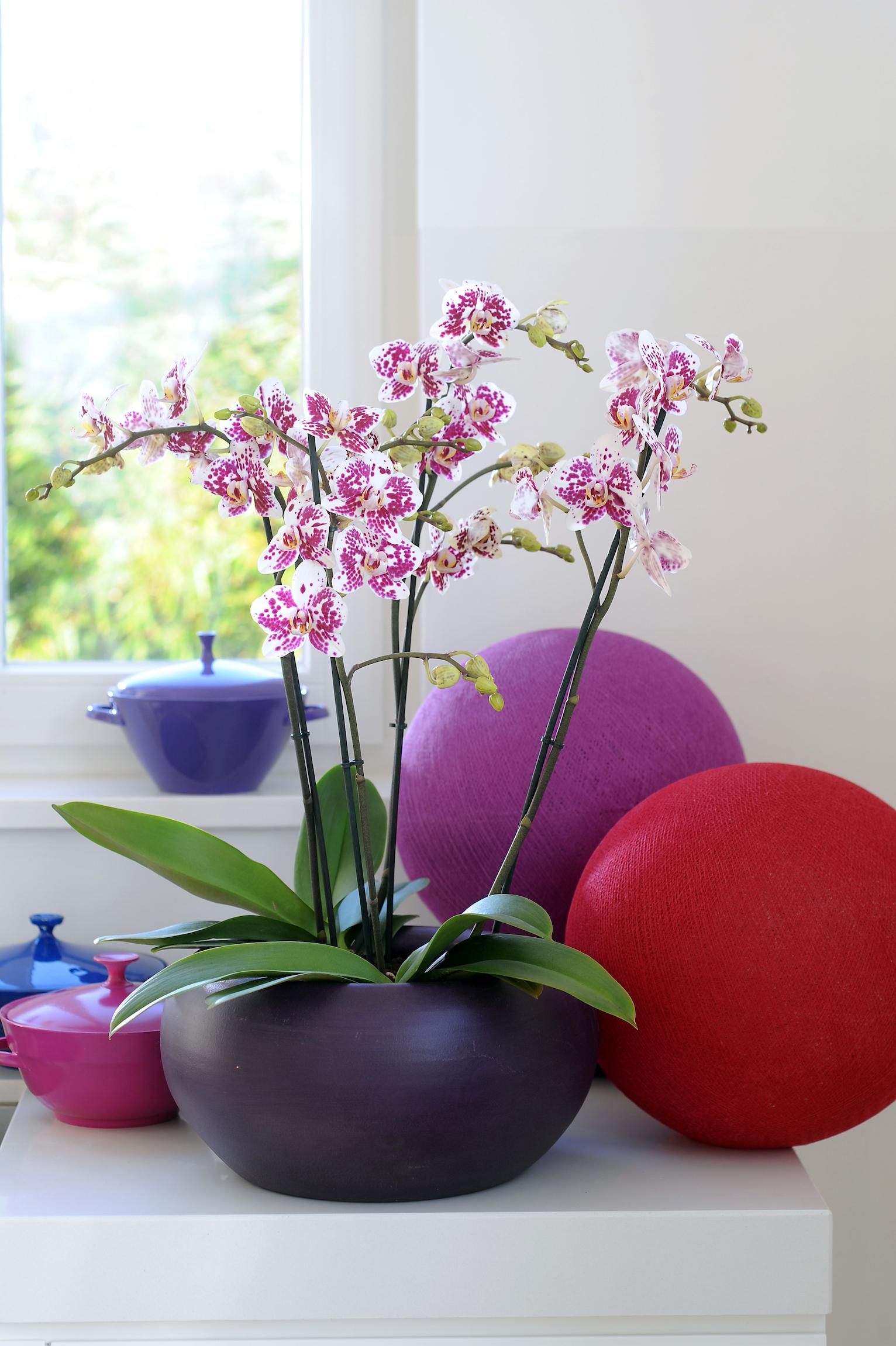 De bijzondere patronen waar een phalaenopsis in komt