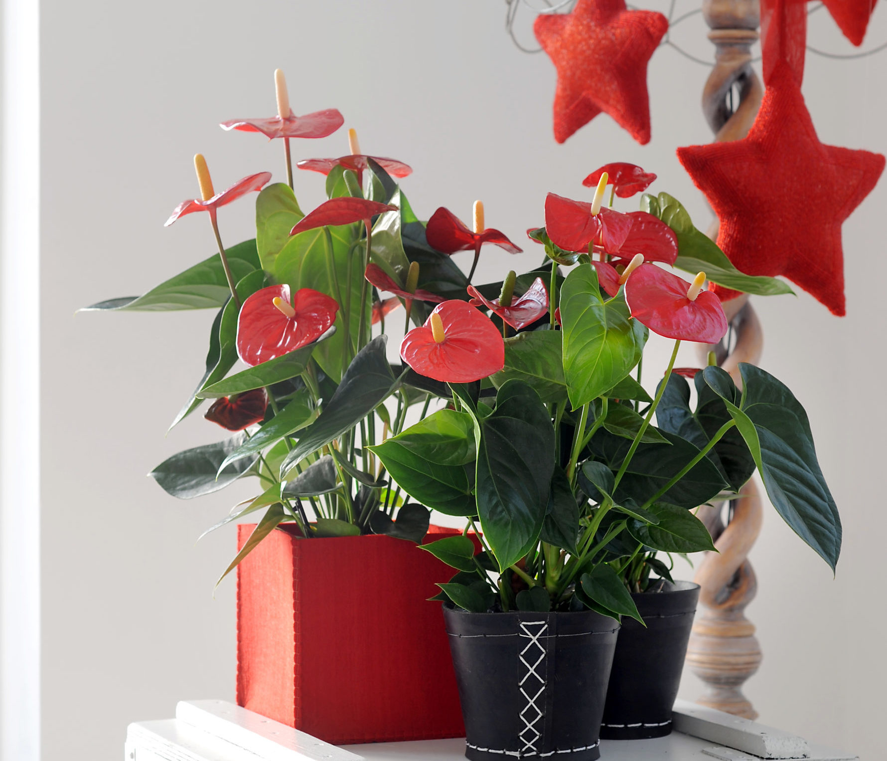 The red anthurium is the perfect Christmas flower