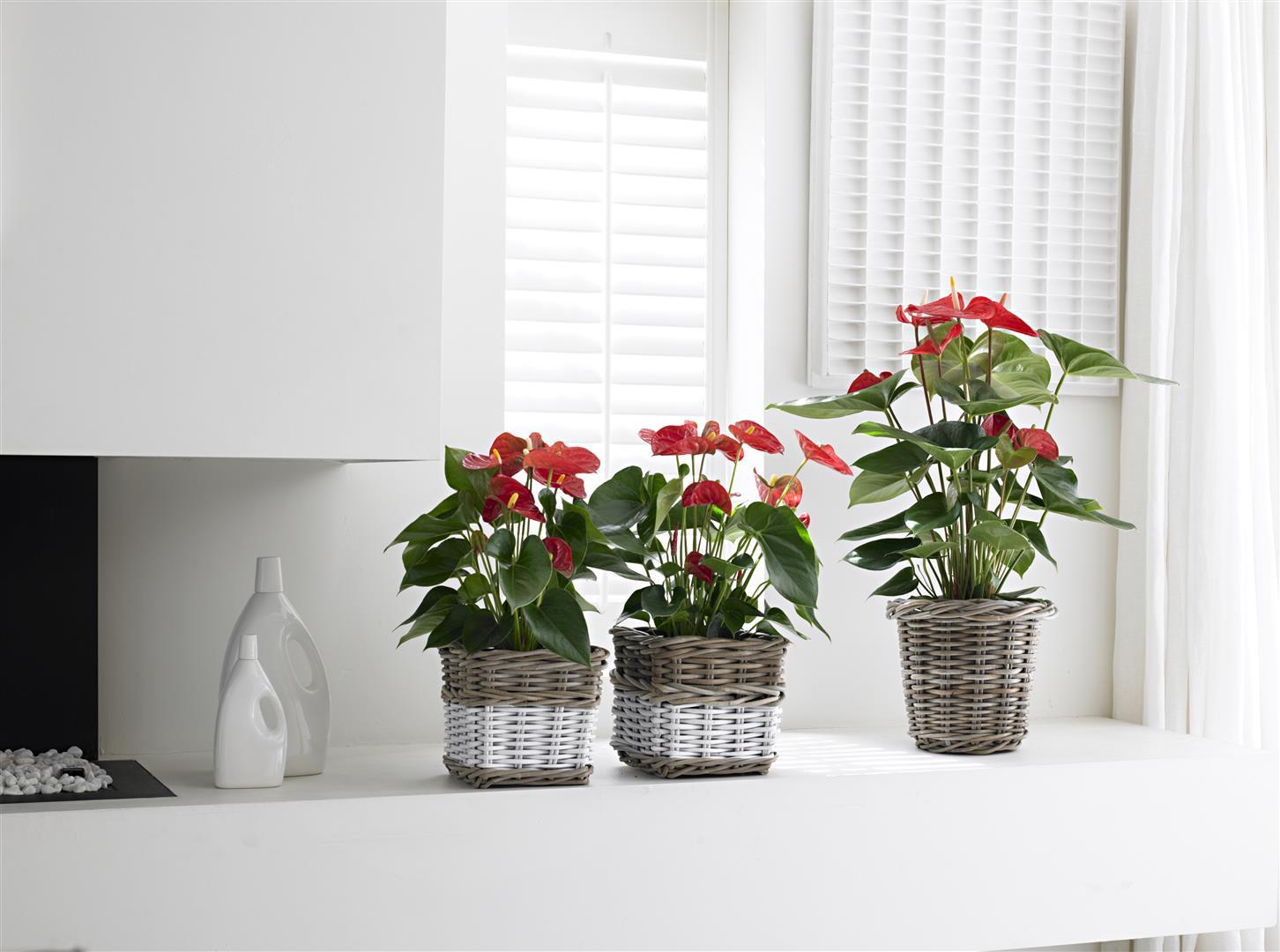 Zo breng je een anthurium plant weer tot leven