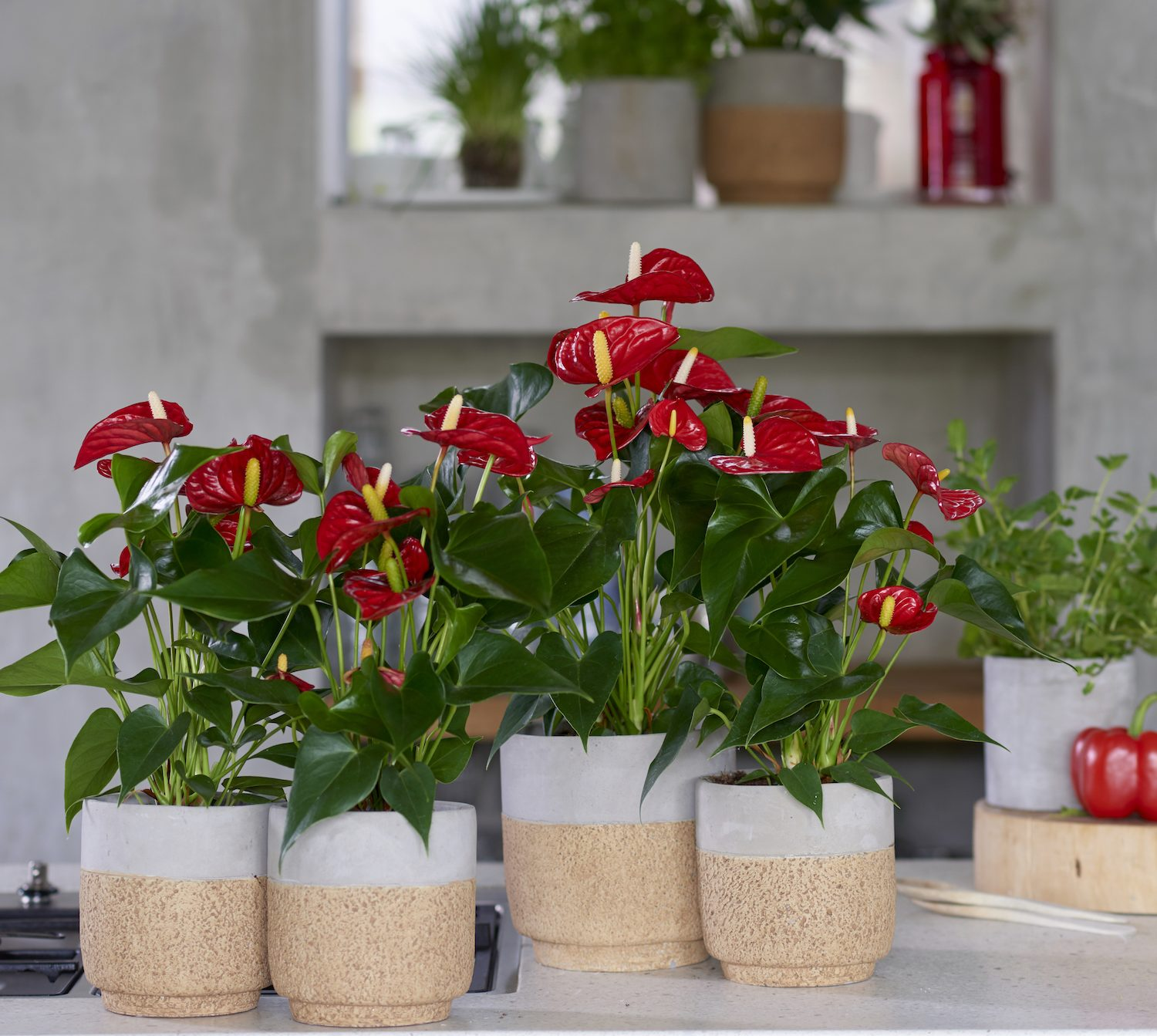 Verwonderlijk The red anthurium is the perfect Christmas flower - Anthura CC-94