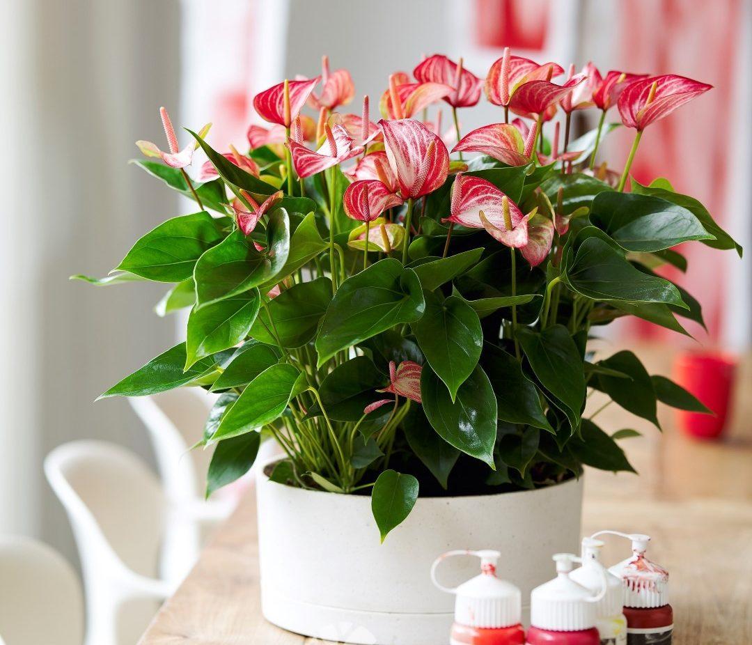 Anthurium Livium: een nieuwe generatie potanthuriums