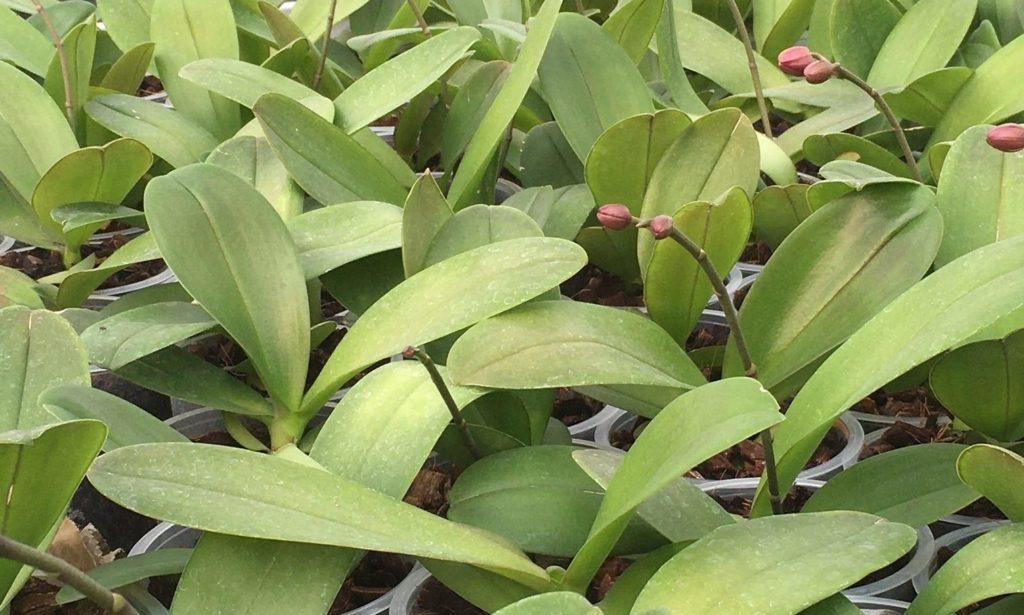 Fysiologische afwijkingen in anthurium en phalaenopsis