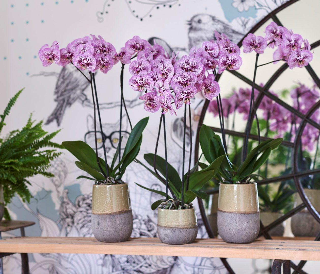 Paarse phalaenopsis planten: voor elk wat wils!