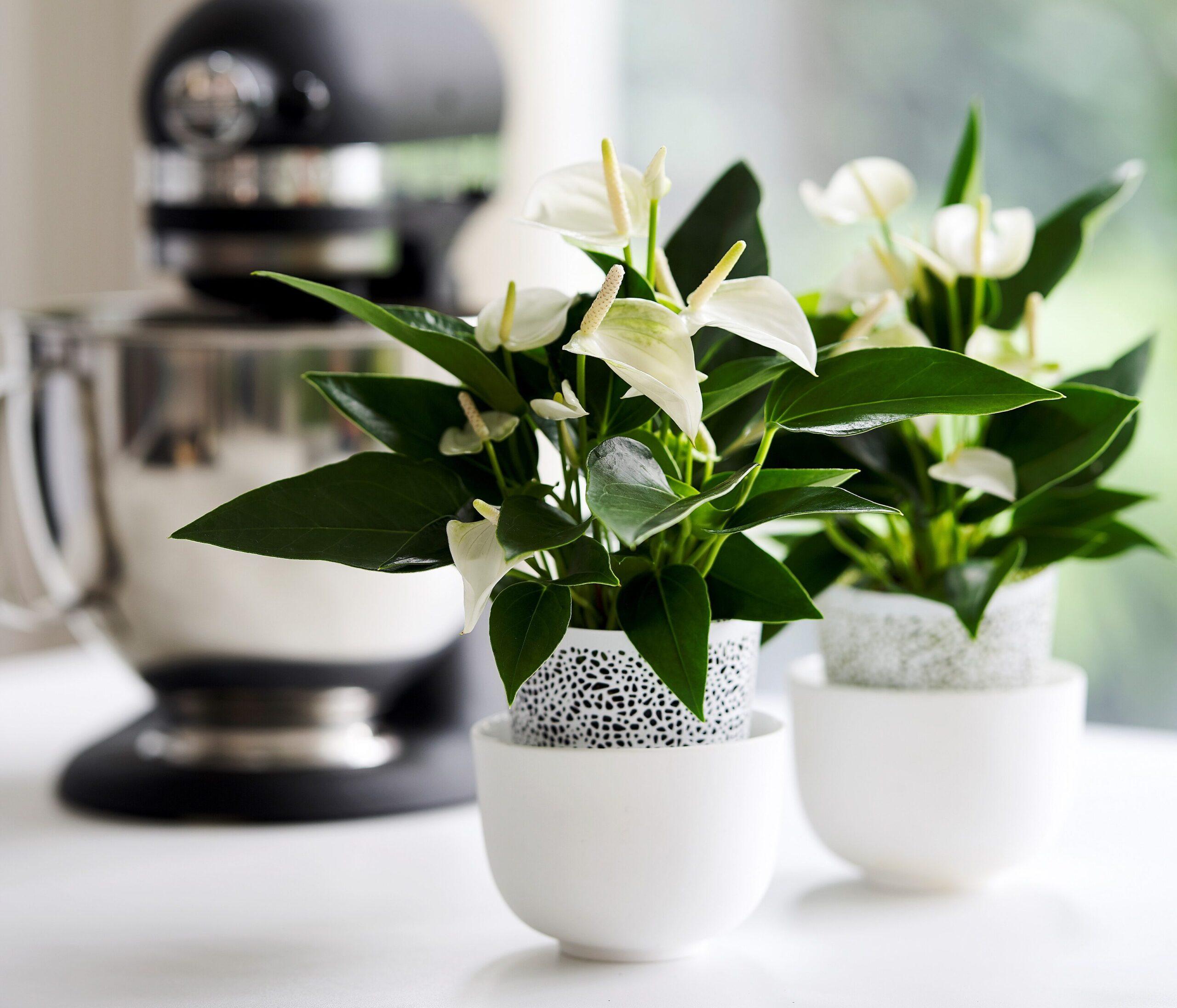 Zo style je de keuken met anthurium planten